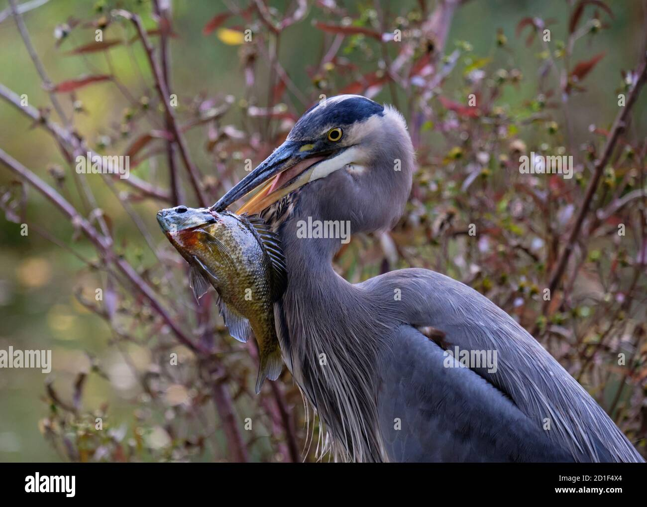 profile-of-a-great-blue-heron-holding-a-fish-in-its-beak-which-it-stabbed-through-during-morning-fishing-in-autumn-2D1F4X4.jpg