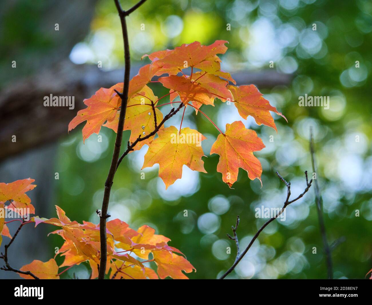 sugar-maple-leaves-thatcher-woods-forest