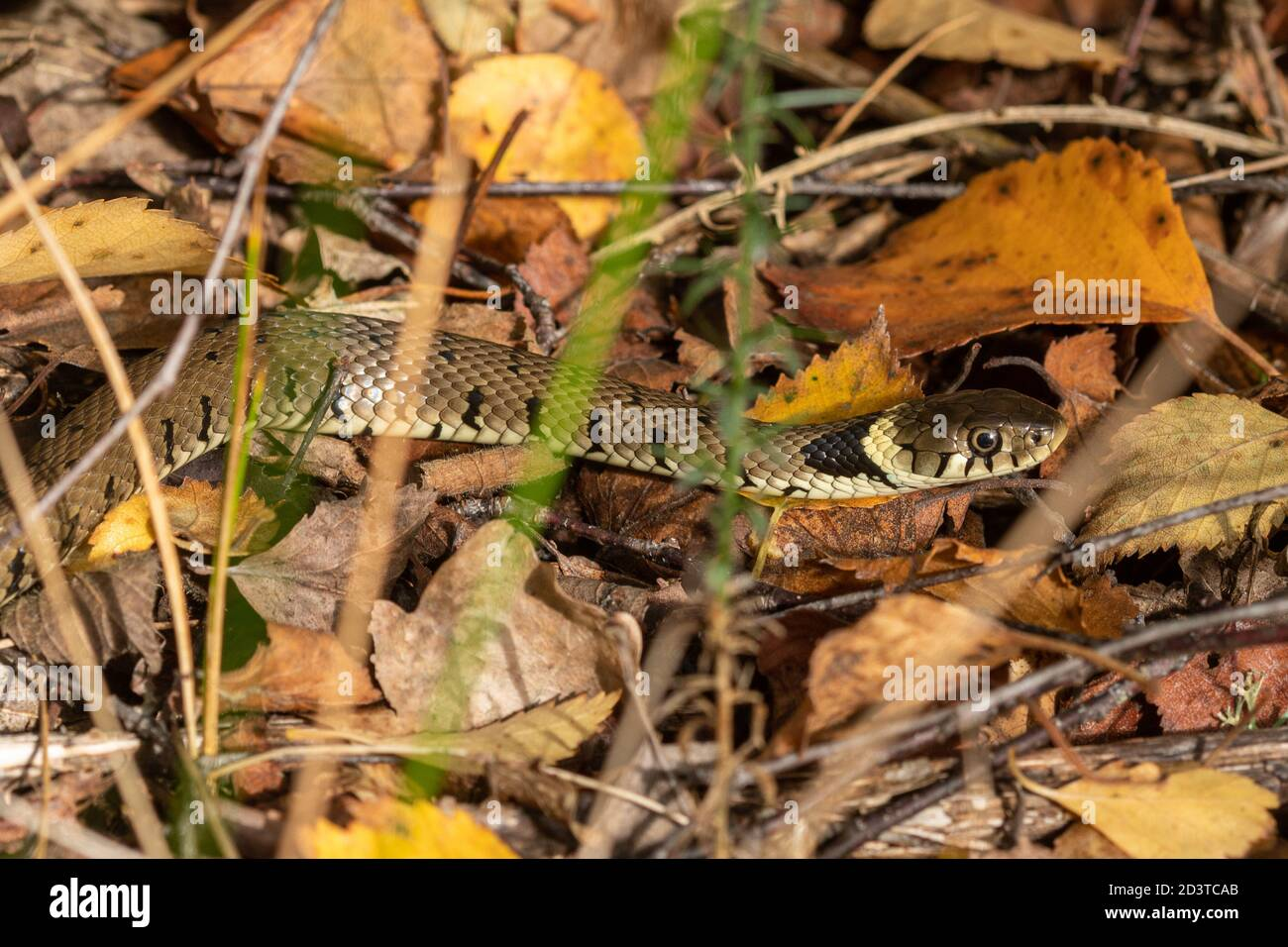 barred-grass-snake-natrix-helvetica-basking-on-autumnal-leaves-in-october-on-a-woodland-edge-uk-during-autumn-2D3TCAB.jpg