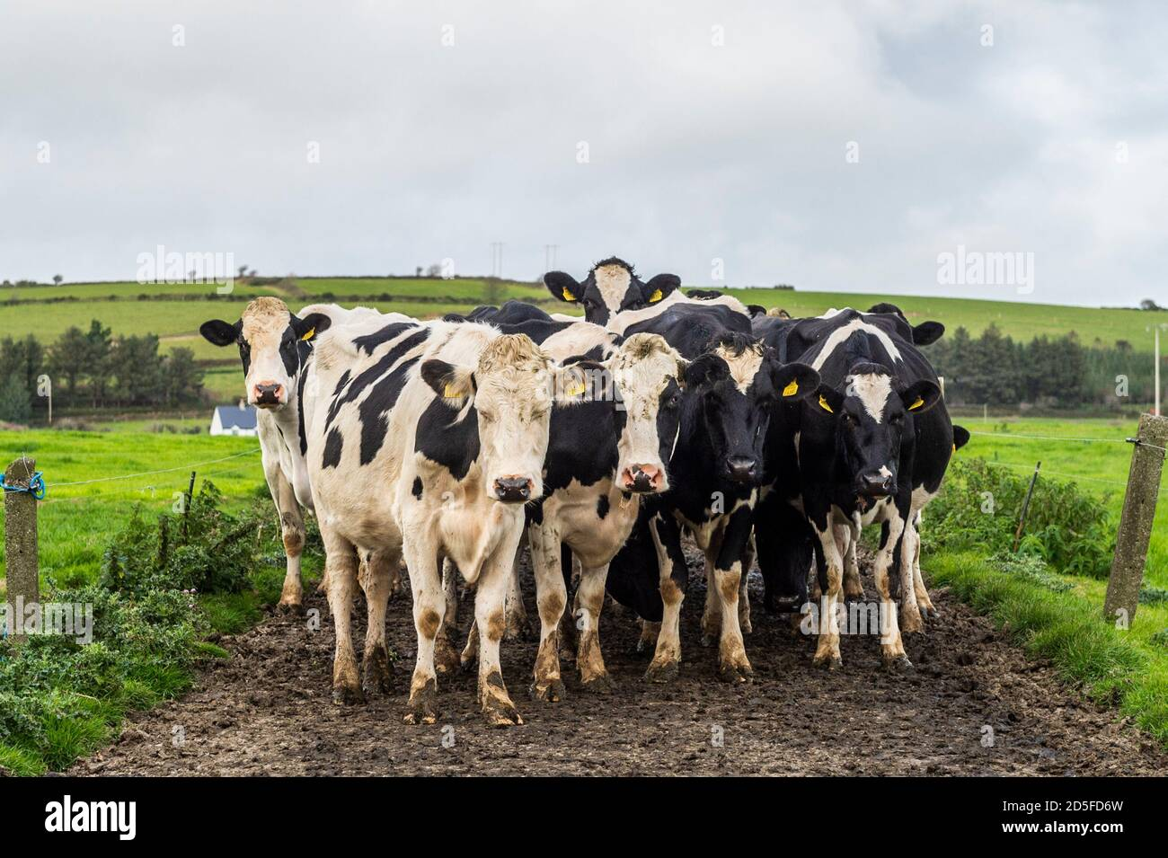 timoleague-west-cork-ireland-13th-oct-2020-a-100-strong-herd-of-dairy-cows-makes-its-way-to-the-sheds-on-the-timoleague-farm-of-john-dineen-the-cows-will-be-fed-before-being-milked-credit-ag-newsalamy-live-news-2D5FD6W.jpg