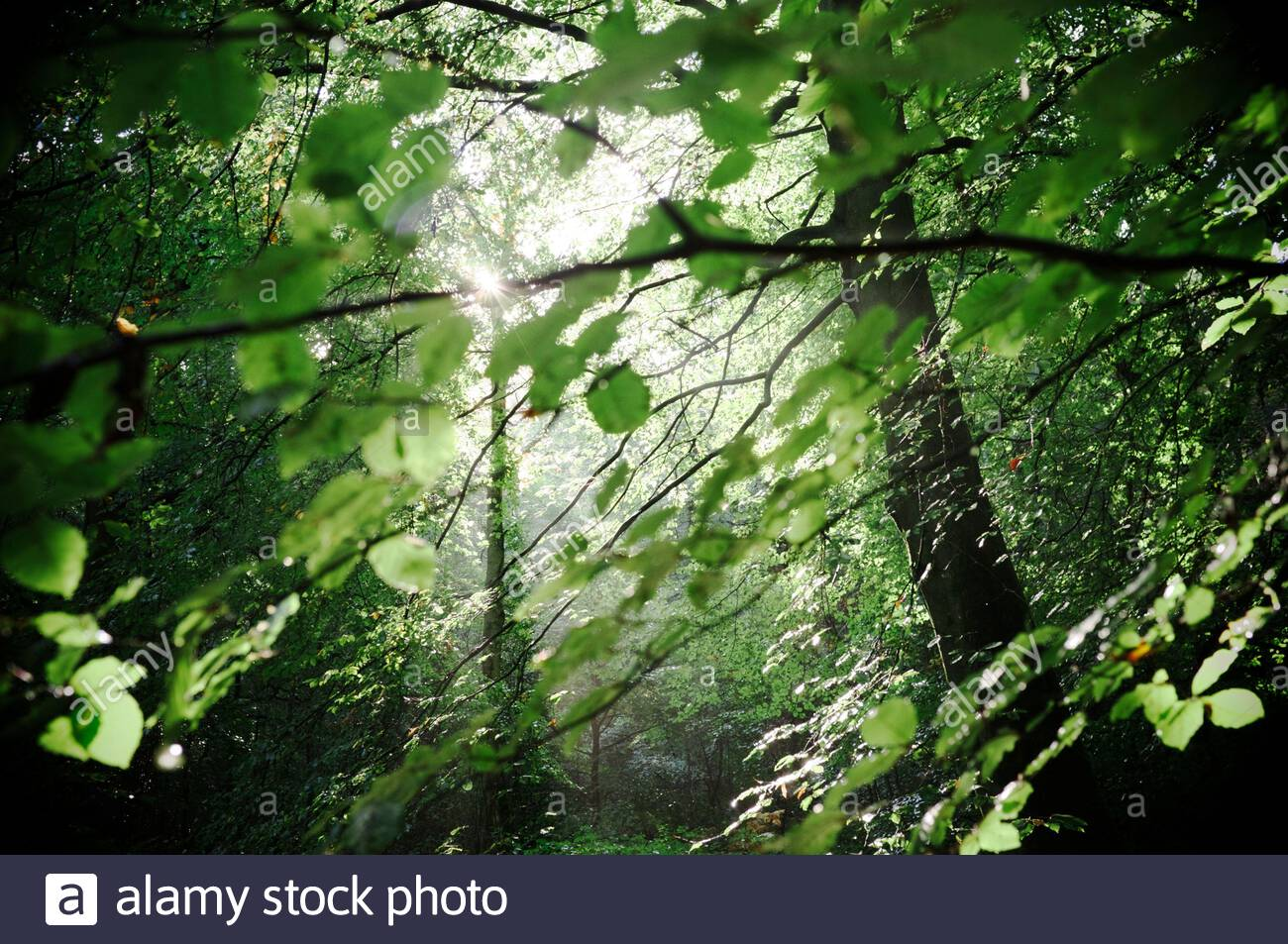 Woodland scene on Limpsfield Common, near Oxted, Surrey, UK. Stock Photo