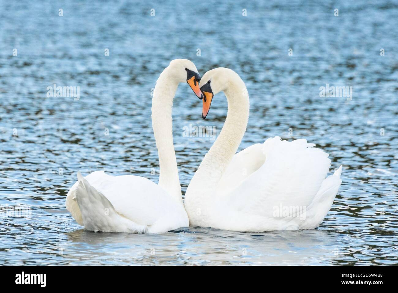Mute swan pair bonding on a lake with their necks forming the heart shape. Love, affection, bonding, mate for life, trust, mate, beauty, birds, animal Stock Photo