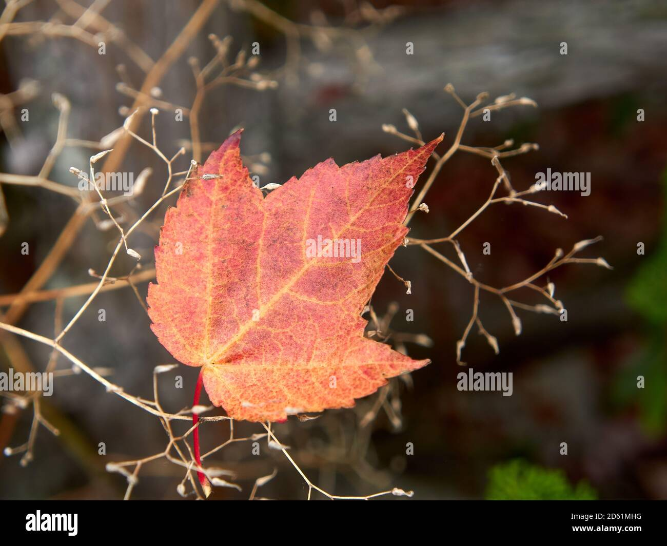 closeup-of-a-single-red-maple-leaf-acer-