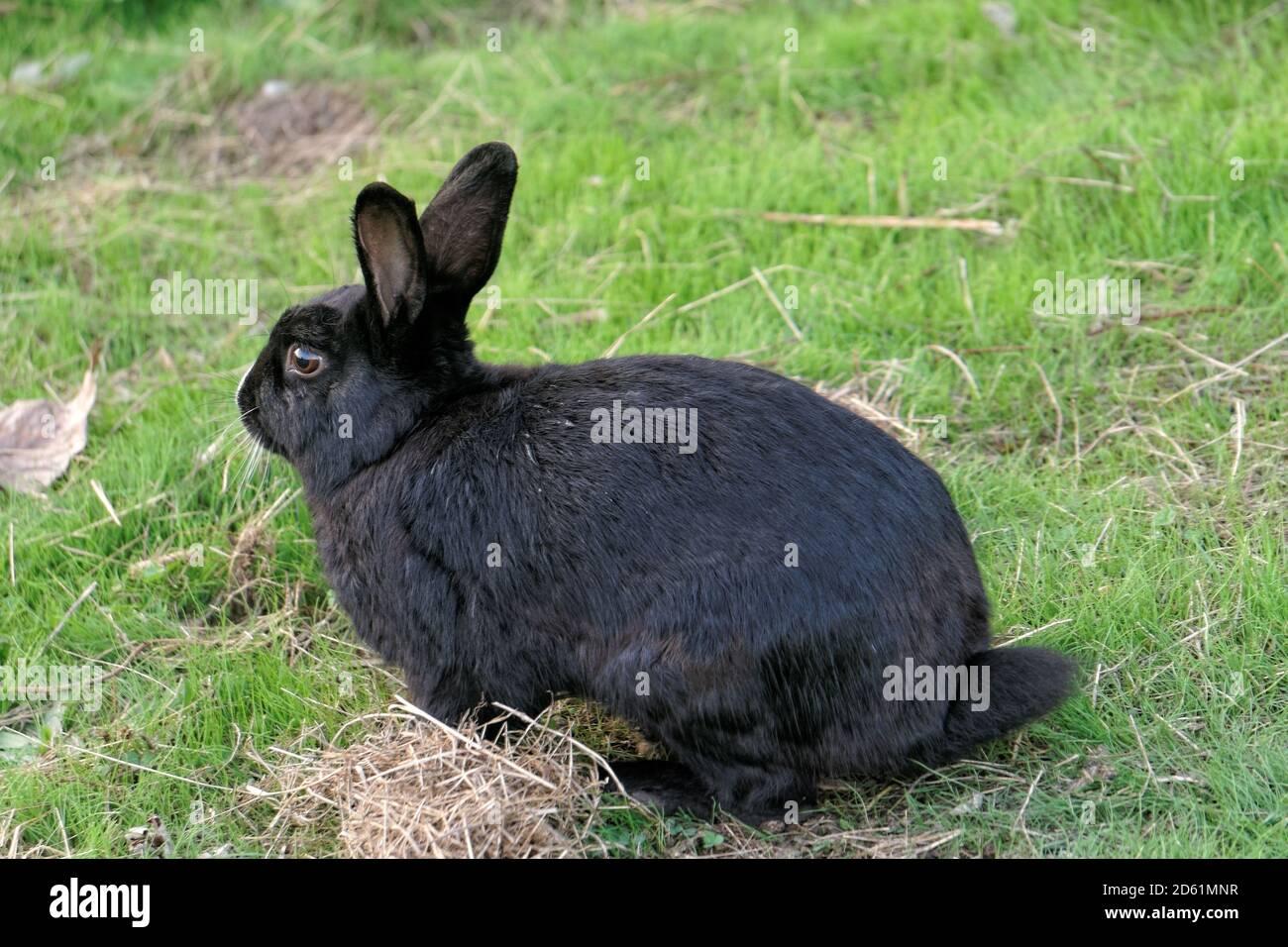 wild-black-rabbit-sitting-in-a-grassy-fi