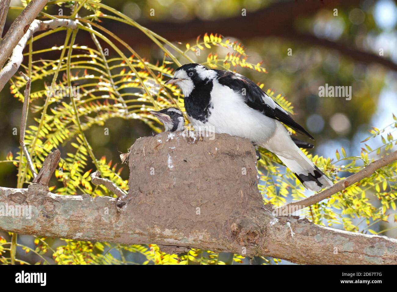 magpie-lark-also-known-as-the-peewee-peewit-or-mudlark-grallina-cyanoleuca-female-bird-is-on-the-side-of-the-nest-made-from-mud-there-is-the-head-2D67T7G.jpg