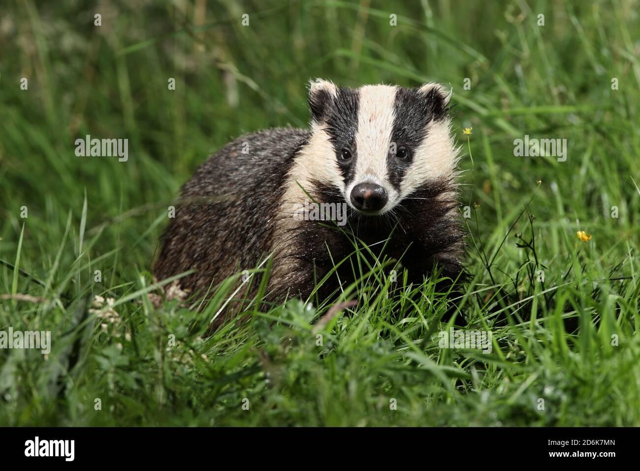 badger-uk-2D6K7MN.jpg