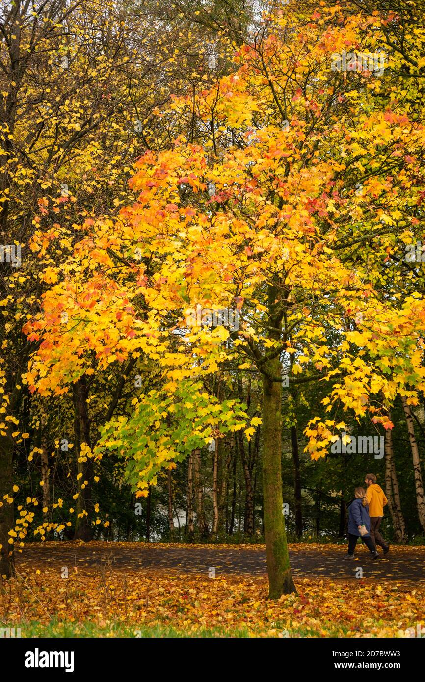 Brightly coloured leaves of Norway maple tree in autumn, UK. Colour gradient from red through to green, fall, leaves. Two people are walking by Stock Photo