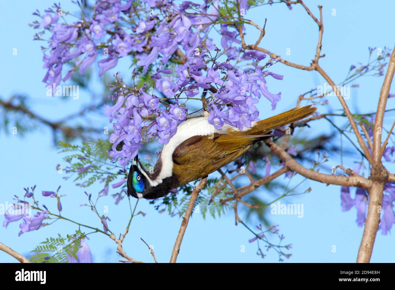blue-faced-honeyeater-entomyzon-cyanotis-hanging-upsidedown-and-eating-nectar-from-jacaranda-flowers-coffs-harbour-nsw-australia-2D94E8H.jpg