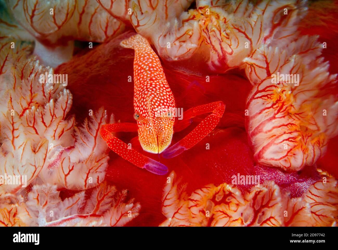 Emperor Shrimp, Periclimenes imperator,riding on an Spanish Dancer Nudibranch, Hexabranchus sanguineus. Tulamben, Bali, Indonesia. Pacific Ocean. Stock Photo
