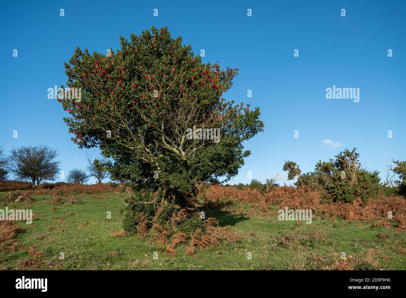 single-holly-tree-ilex-aquifolium-with-red-berries-in-november-uk-2D9F9H6.jpg