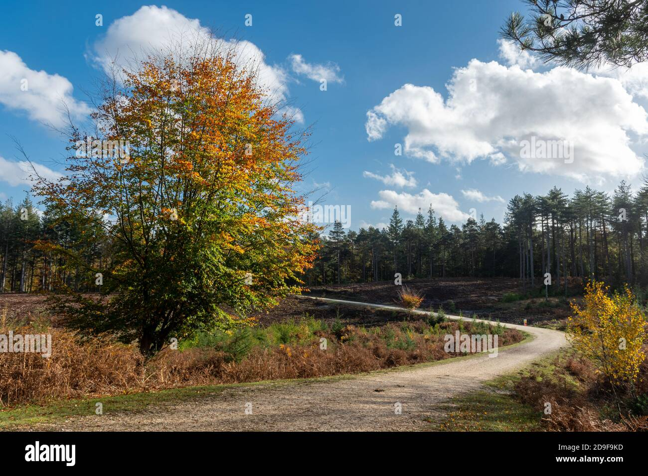 a-track-or-path-through-a-clear-felled-area-in-a-coniferous-plantation-inclosure-in-the-new-forest-national-park-in-hampshire-uk-during-autumn-2D9F9KD.jpg