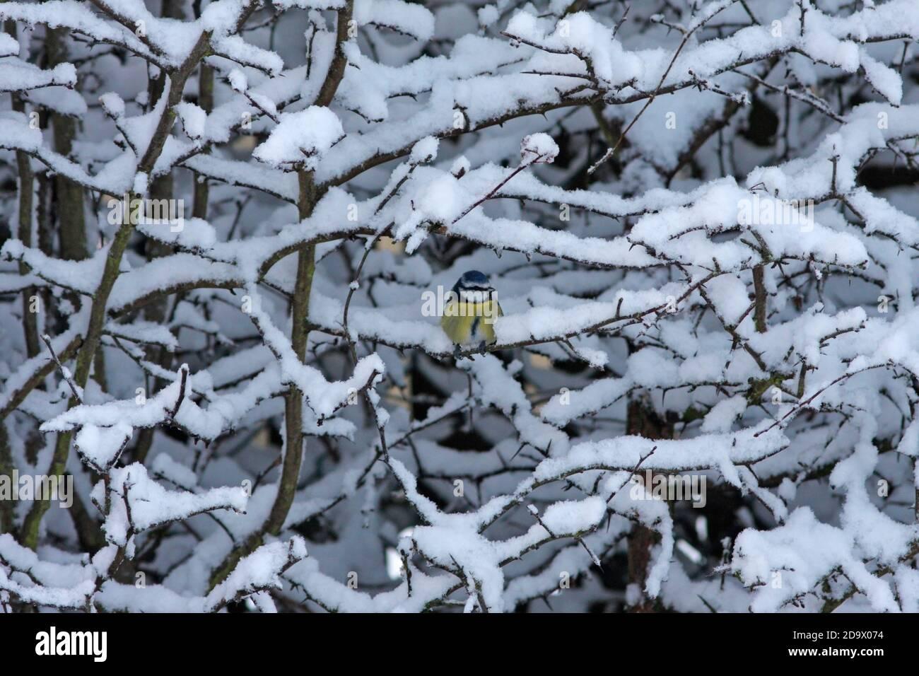 blue-tit-snow-uk-2D9X074.jpg