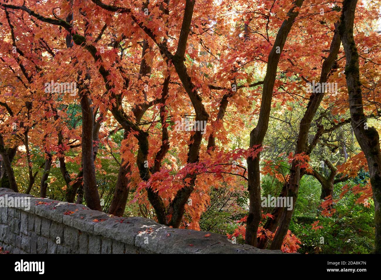 japanese-maple-acer-palmatum-trees-with-