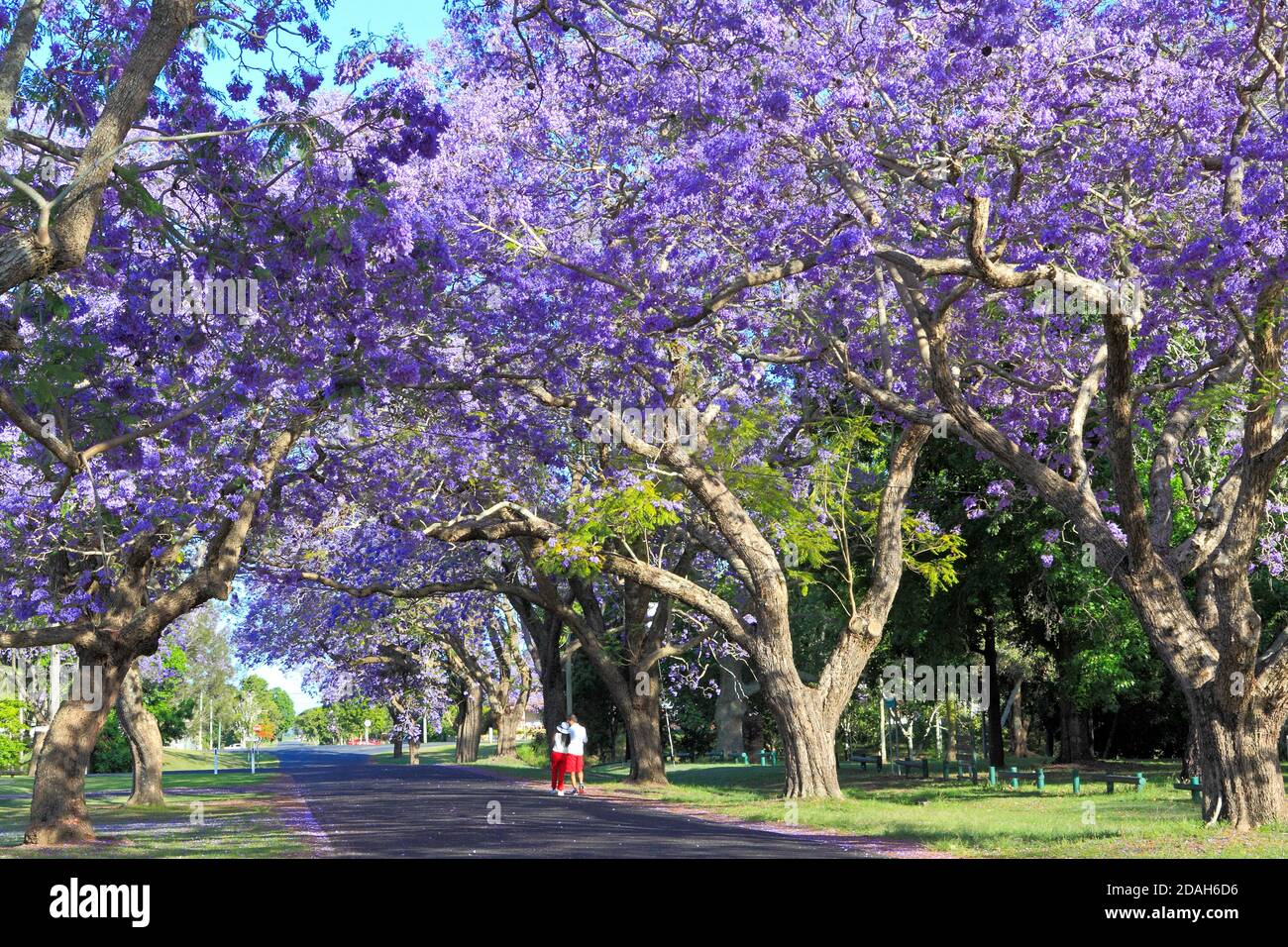 jacaranda-trees-jacaranda-mimosifolia-in-flower-forming-a-canopy-over-the-road-there-are-two-people-walking-along-the-road-bacon-street-grafton-2DAH6D6.jpg