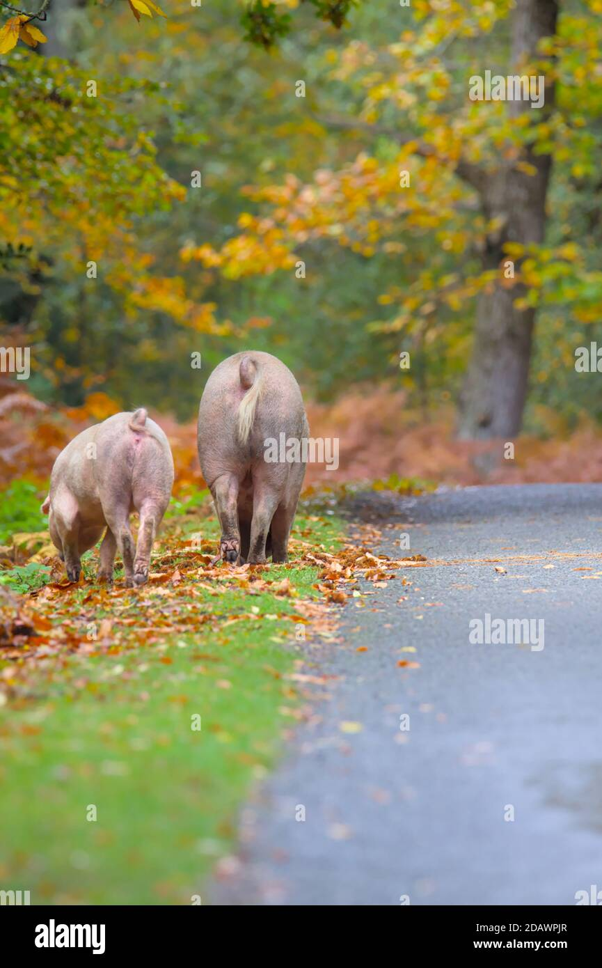 sow-and-piglet-pig-foraging-on-the-road-edge-during-pannage-in-the-new-forest-uk-where-pigs-are-released-to-clear-acorns-2DAWPJR.jpg