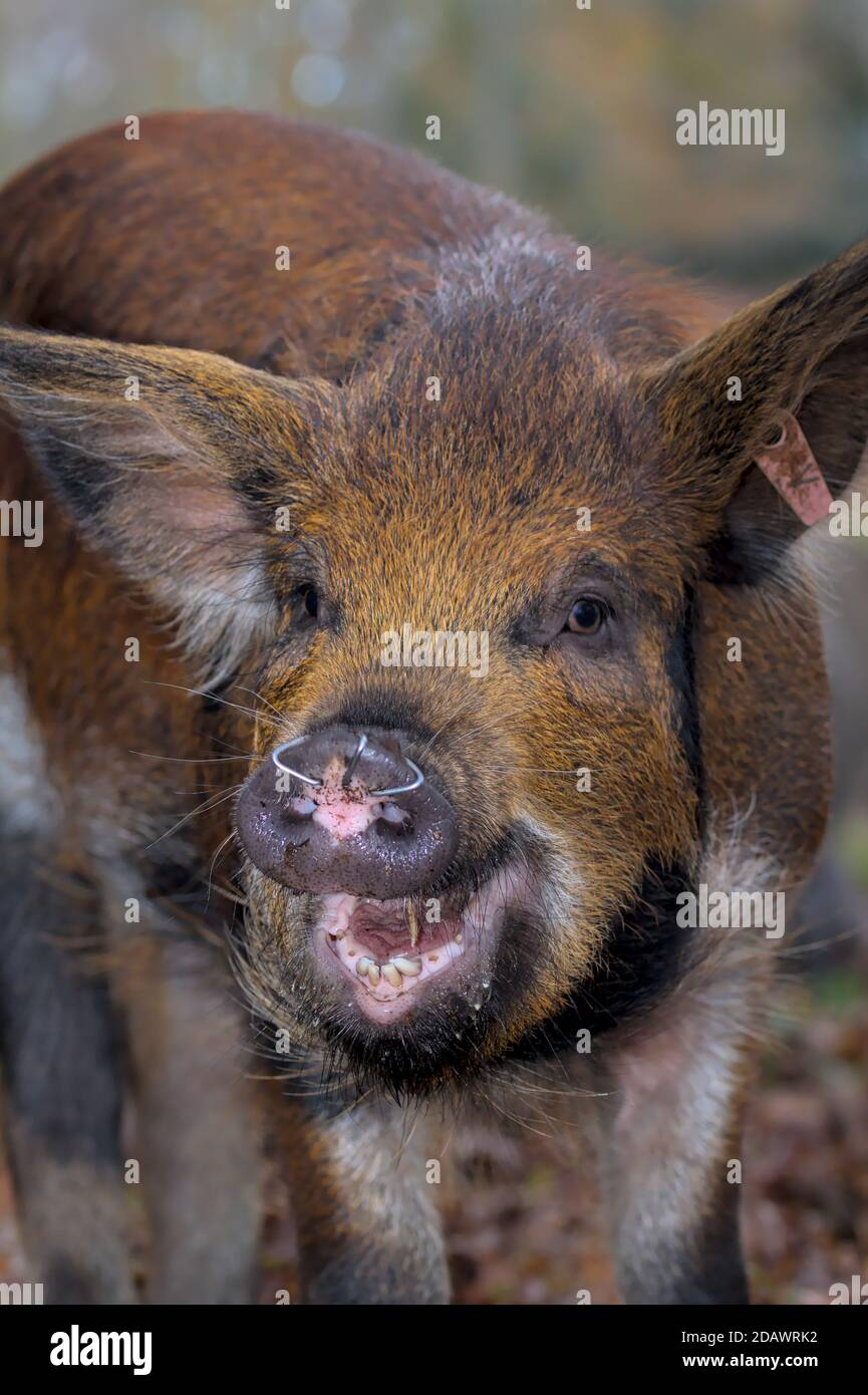 happy-piglet-with-rings-in-nose-to-prevent-rooting-during-pannage-in-the-new-forest-where-pigs-are-released-to-clear-the-acorns-new-forest-uk-2DAWRK2.jpg