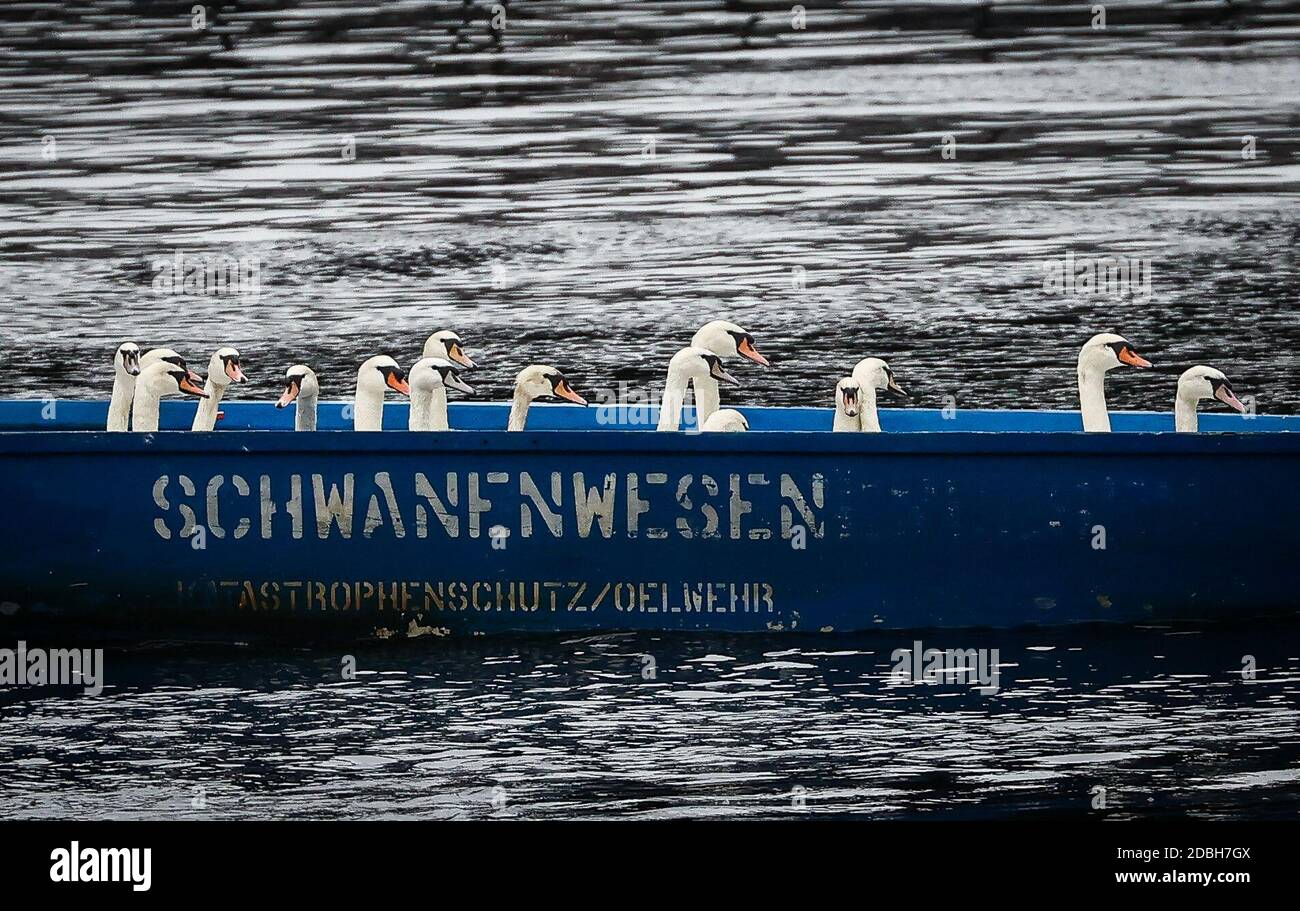 Hamburg, Germany. 17th Nov, 2020. Swans sit in a boat of the swan being in the town hall lock at the Alster. Swan father Nieß and his helpers have captured them and are taking them to their ice-free winter quarters in the Eppendorf mill pond until spring. Credit: Christian Charisius/dpa/Alamy Live News Stock Photo