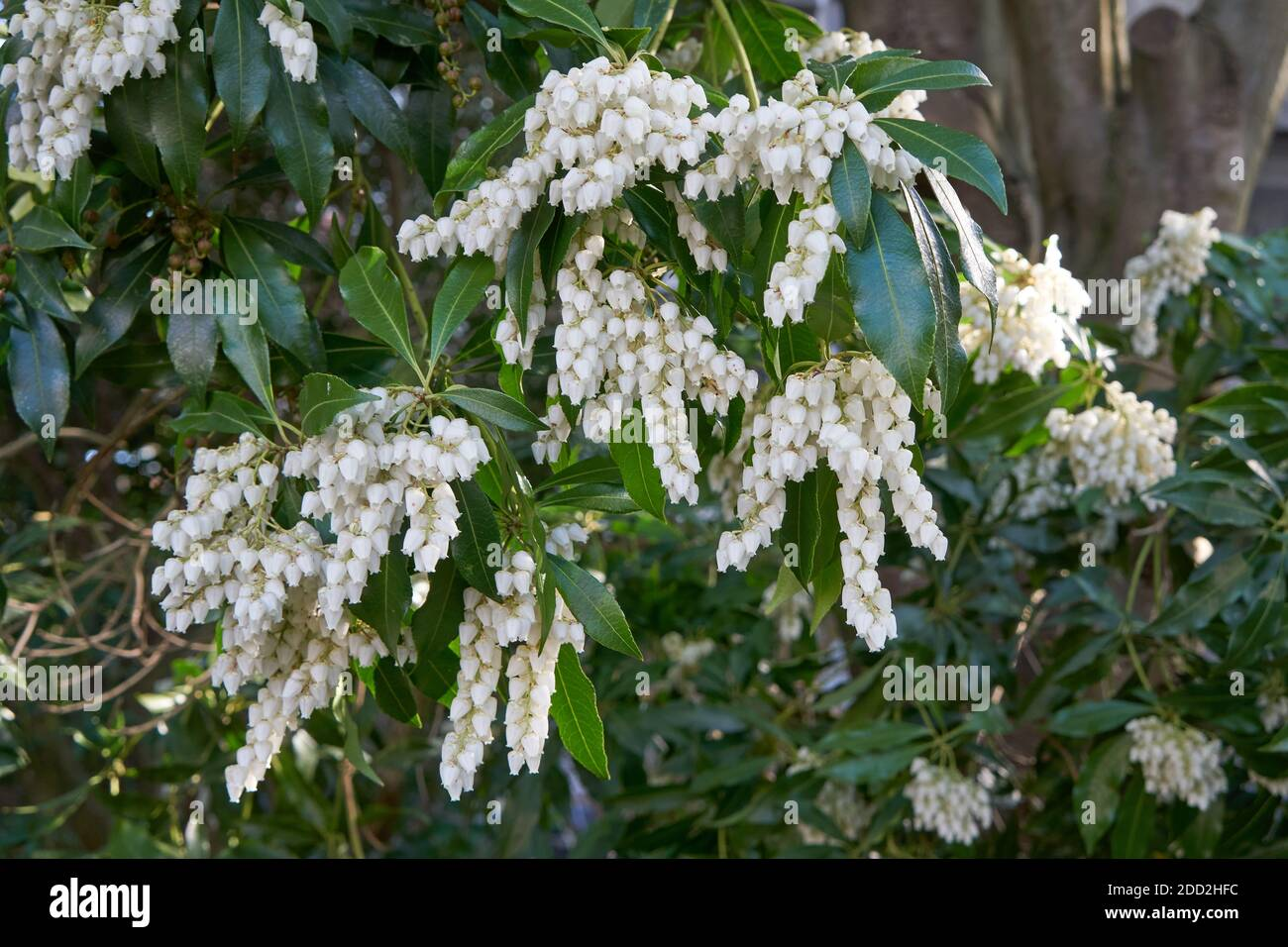 closeup-of-a-white-flowering-shrub-in-sp