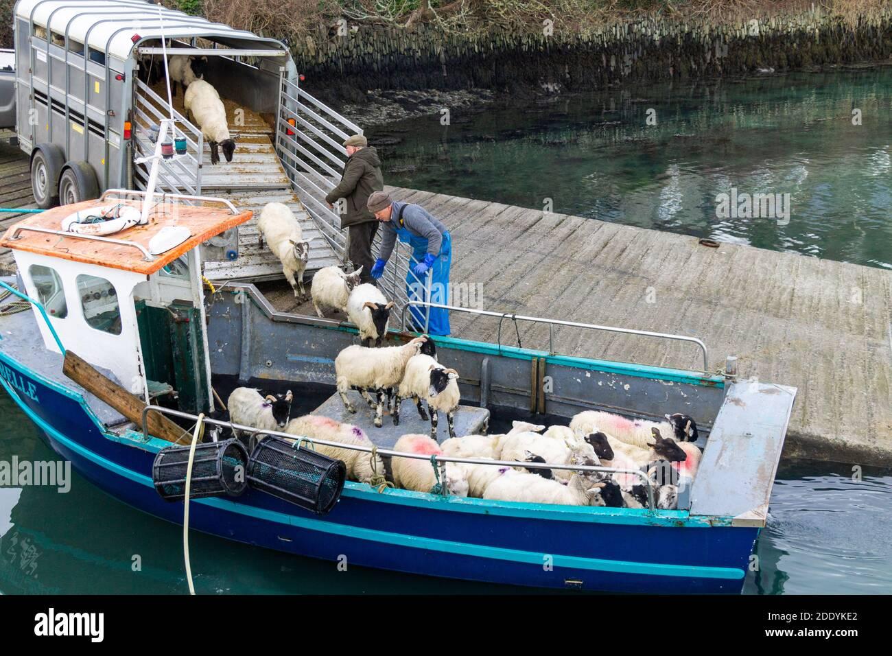 sheep-being-loaded-onto-small-fishing-boat-rural-ireland-2DDYKE2.jpg