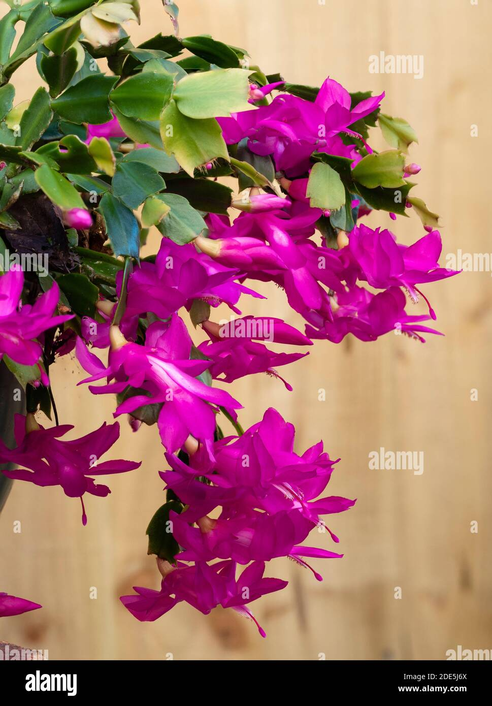 Massed late Autumn display of the pink flowered epiphytic Christmas cactus, Schlumbergera truncata Stock Photo