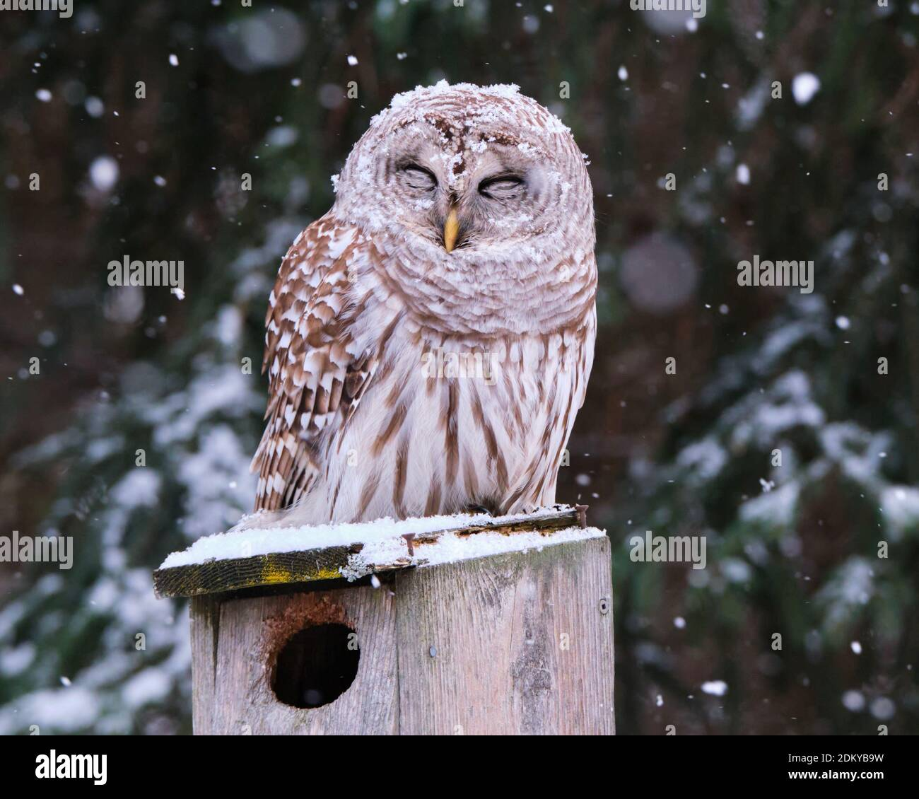 barred-owl-strix-varia-with-eyes-closed-sitting-on-a-wooden-bird-house-as-a-light-snow-flakes-starts-falling-on-it-2DKYB9W.jpg