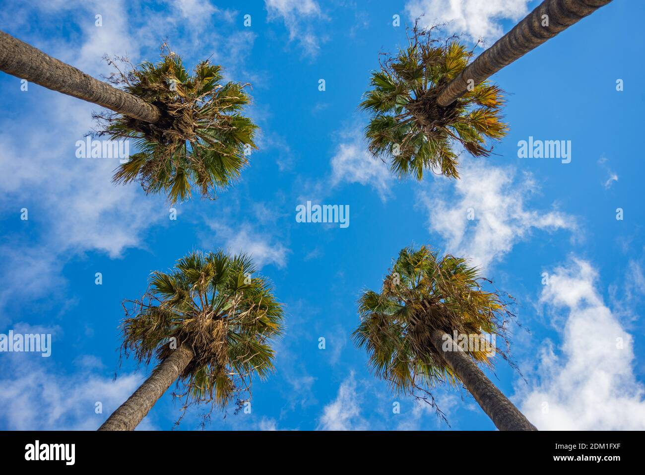 tops of palm trees seen from the ground, with blue sky Stock Photo