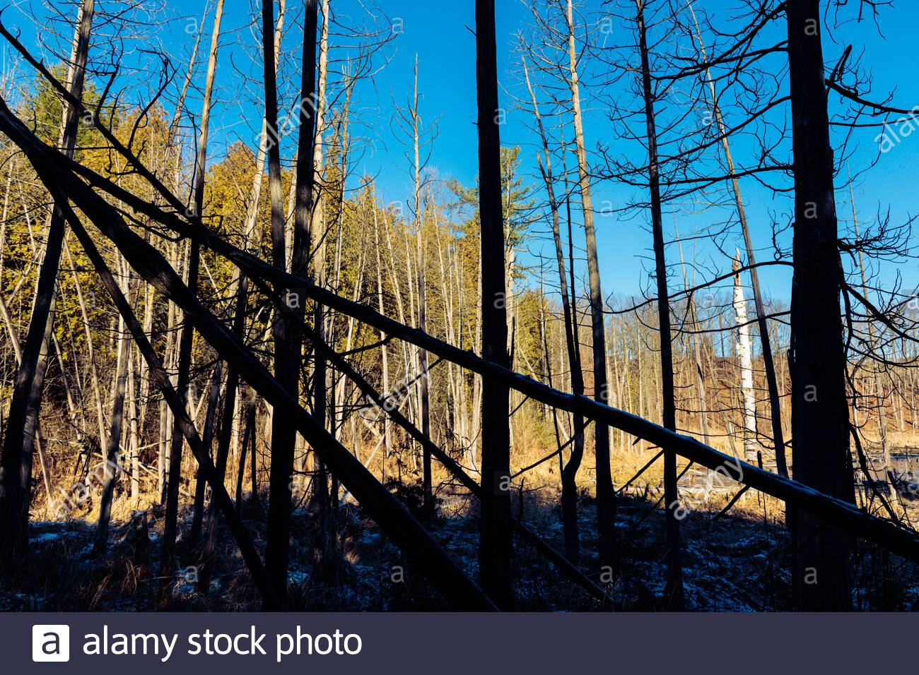 deadfall-fallen-tangled-mass-of-trees-in