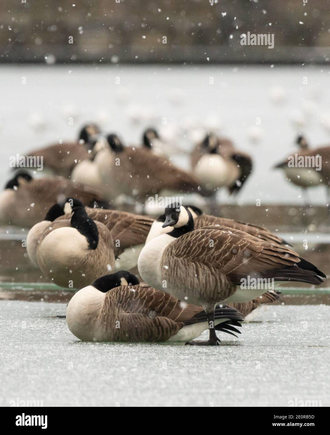 Bolton, England. 2nd Jan 2021. UK Weather. Moses Gate Country Park. A flock of Canada Geese stand on the frozen lake with the one closest to the camera showing curiosity at the falling snow. Credit: Callum Fraser/Alamy Live News Stock Photo