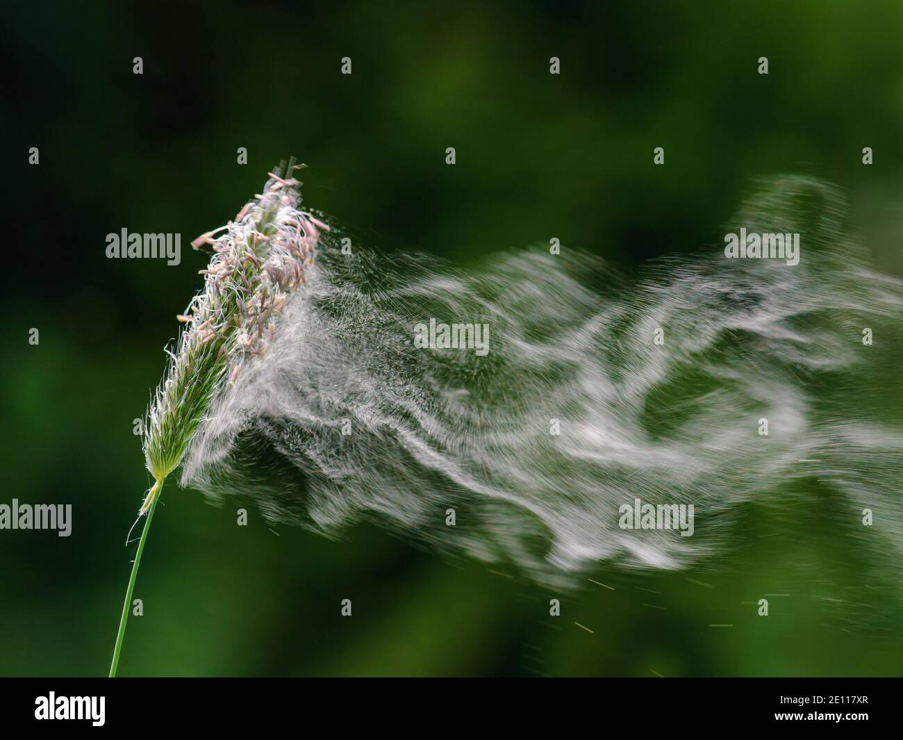 Flowering grass with departing pollen Stock Photo