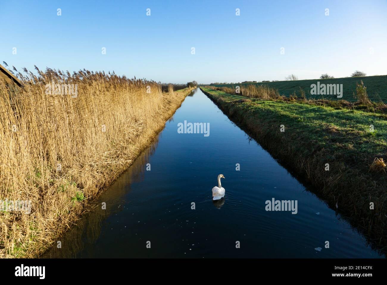 mute-swan-on-water-in-field-drain-2E14CFX.jpg