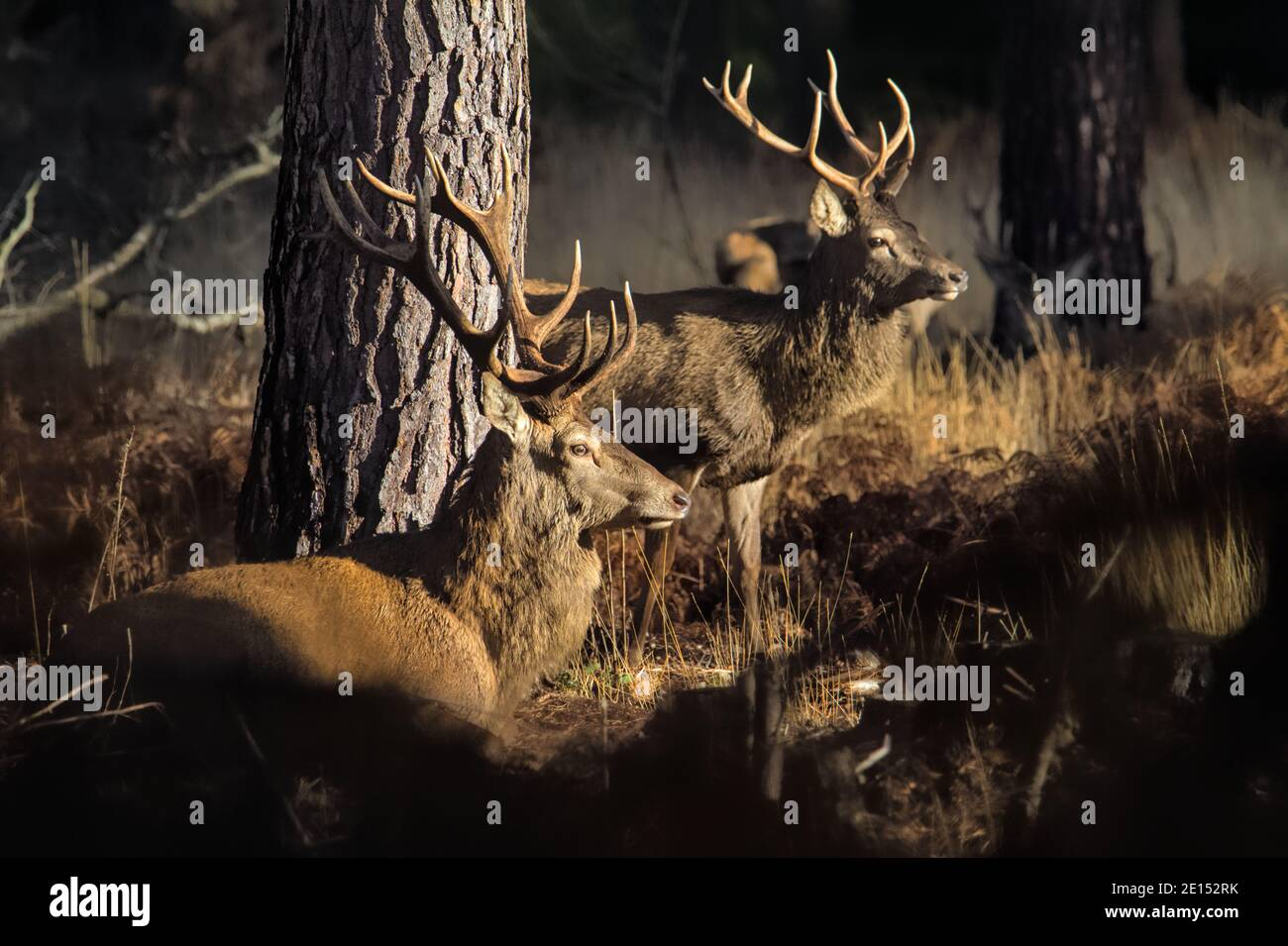 old-male-red-deer-stagcervus-elaphus-with-antlers-sitting-next-to-a-pine-tree-in-the-sunlight-next-to-a-standing-young-deer-stag-with-antlers-new-f-2E152RK.jpg