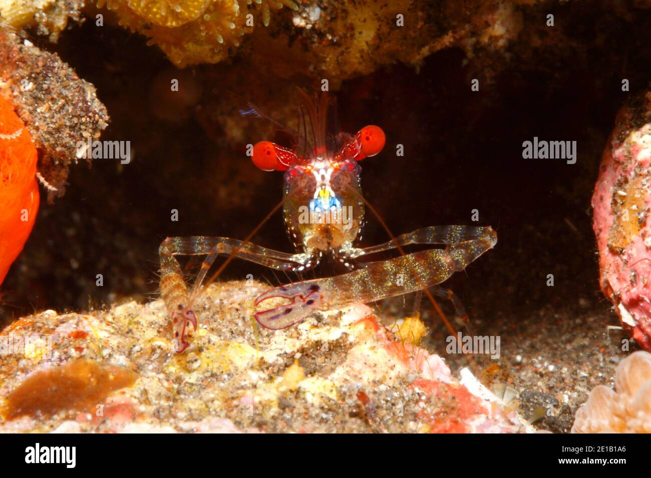 red-eye-shrimp-exoclimenella-maldivensis-tulamben-bali-indonesia-bali-sea-indian-ocean-2E1B1A6.jpg