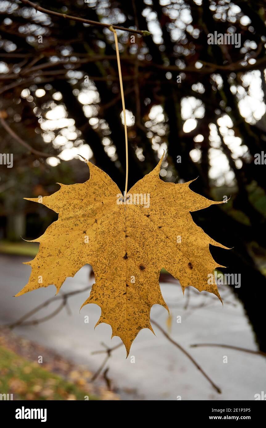 closeup-of-a-single-yellow-maple-leaf-ha