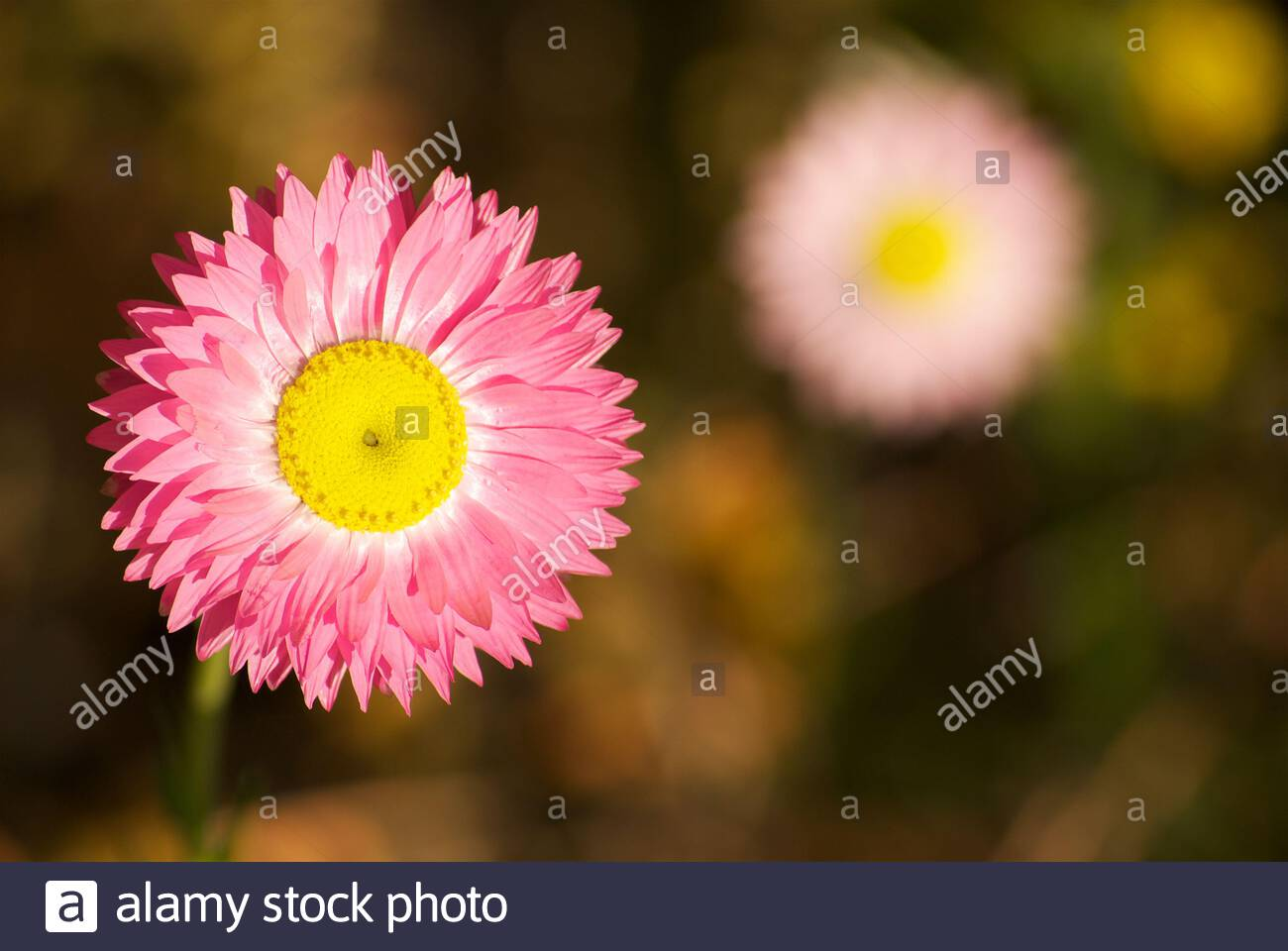 pink-everlasting-rhodanthe-chlorocephala-rosea-a-wildflower-native-to-western-australia-and-south-australia-2E1XJFH.jpg
