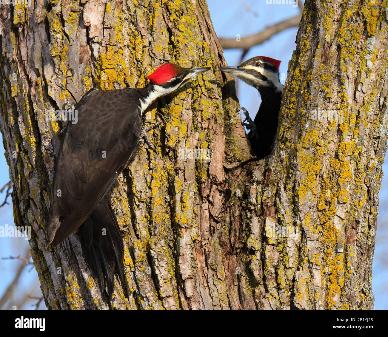 a-pair-of-female-pileated-woodpeckers-latin-dryocopus-pileatus-coming-beak-to-beak-on-a-crisp-winter-morning-the-powerful-bill-about-as-long-as-the-head-is-used-to-chisel-away-decaying-trees-to-reach-insects-the-bird-was-recently-chosen-as-the-bird-of-the-year-for-2021-by-the-american-birding-association-aba-2E1YJ28.jpg