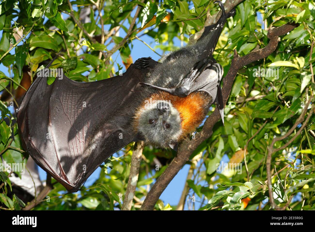 grey-headed-flying-fox-pteropus-poliocephalus-with-wing-open-hanging-from-a-branch-vulnerable-species-see-below-2E35R0G.jpg