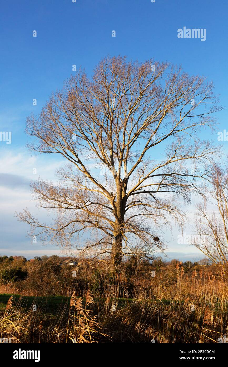 tree-winter-one-deciduous-tree-with-no-leaves-seen-against-a-blue-sky-in-january-in-the-fens-burwell-fen-cambridgeshire-uk-2E3CRCM.jpg