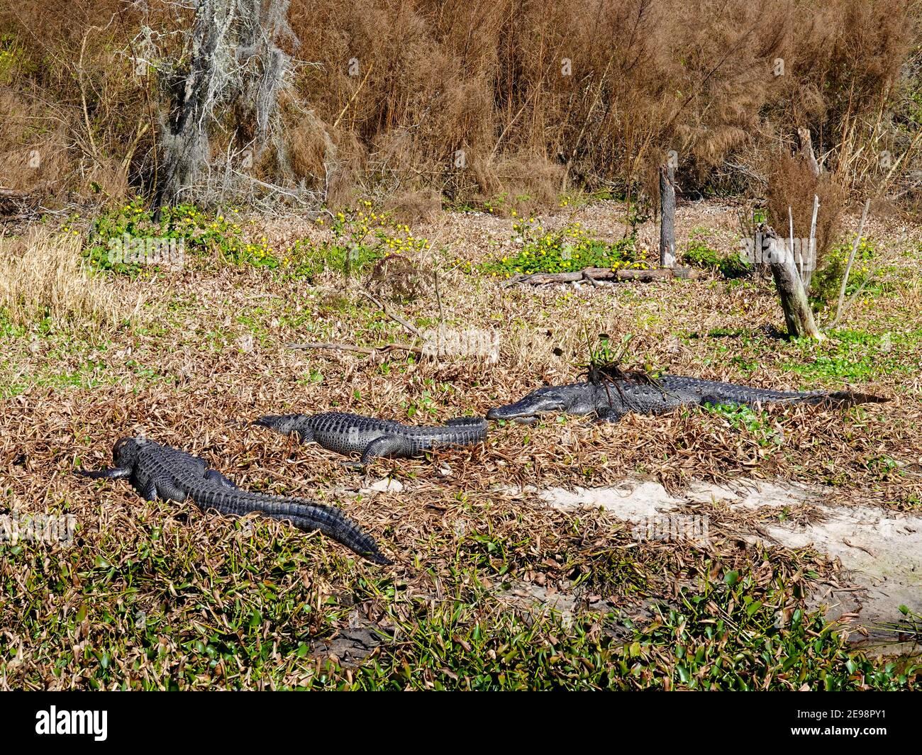 alligators-alligator-mississippiensis-ba