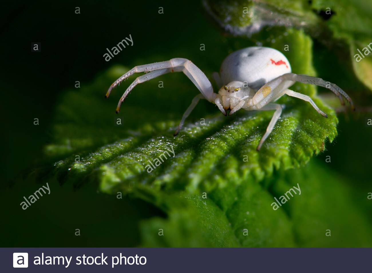 goldenrod-crab-spider-white-female-misum
