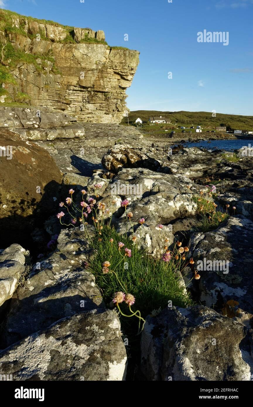 flowers-under-the-cliffs-at-elgol-on-the-isle-of-skye-in-scotland-2EFRHAC.jpg
