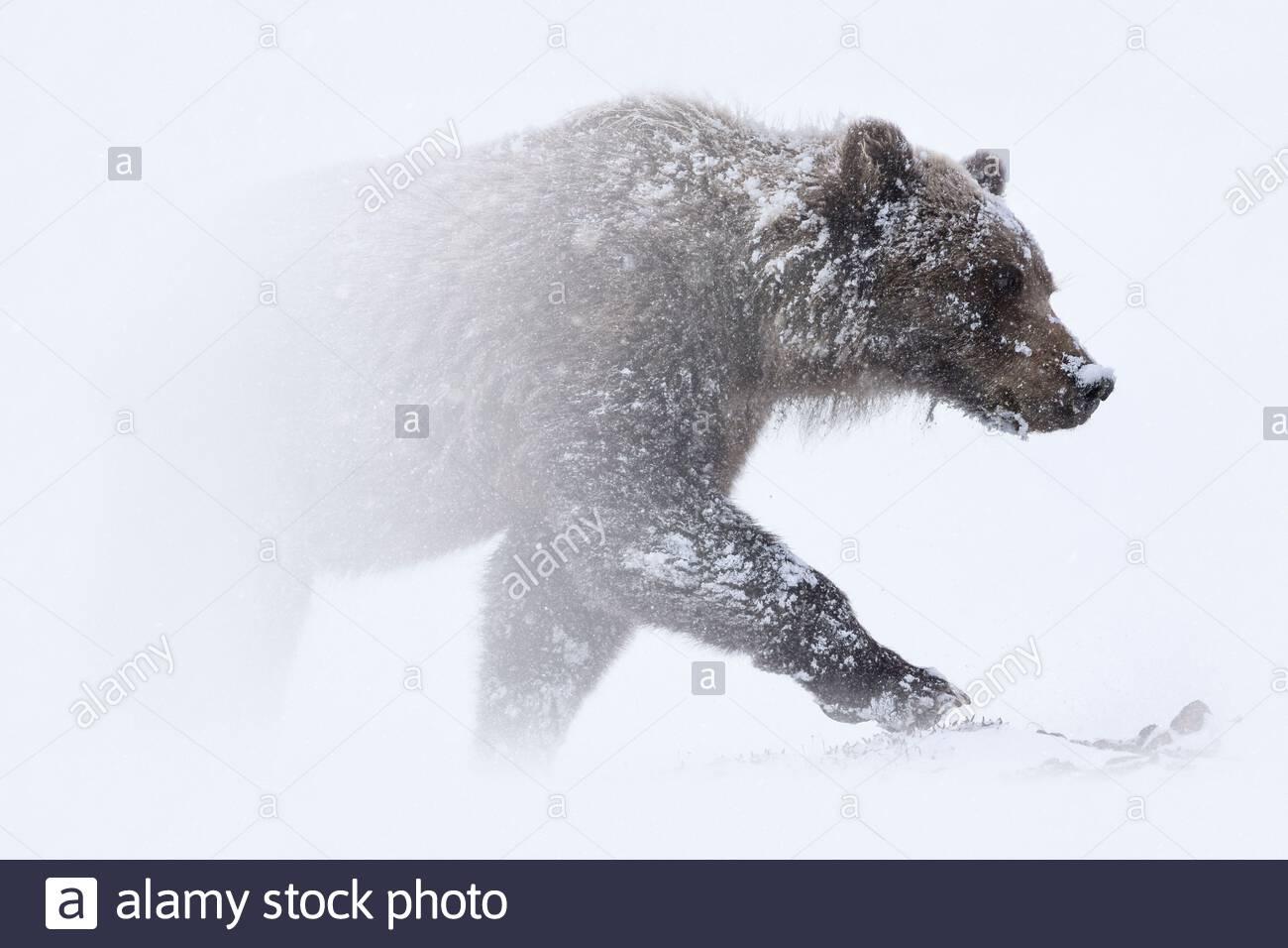 grizzly-bear-ursus-arctos-horribilis-fac