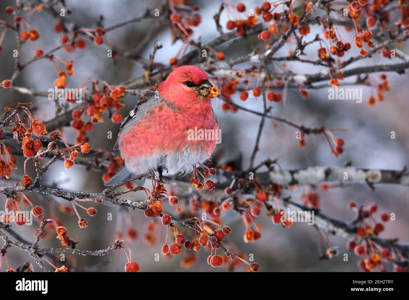 pine-grosbeak-pinicola-enucleator-eating-berries-on-a-winters-day-2EH2TRY.jpg