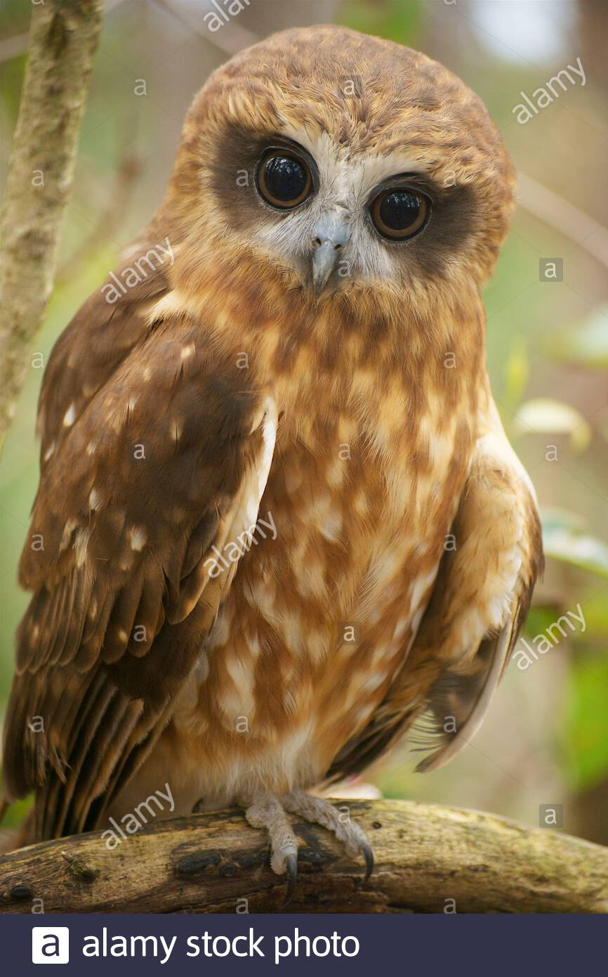 a-vertical-image-of-a-southern-boobook-owl-ninox-novaeseelandiae-also-known-as-ninox-boobook-with-a-surprised-expression-2EJ3XFW.jpg