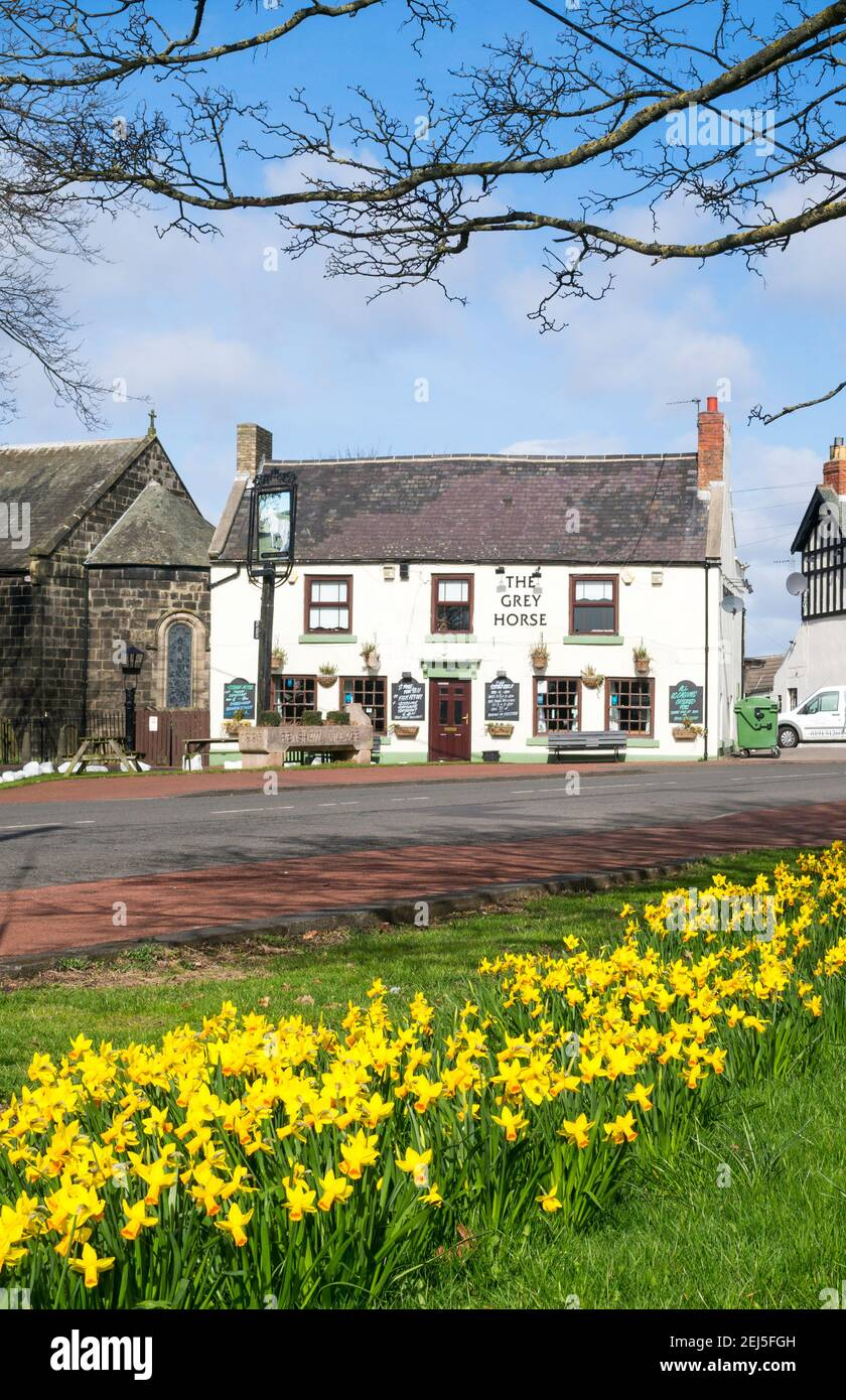 Daffodils blooming and The Grey Horse village pub in Penshaw, north east England. UK Stock Photo