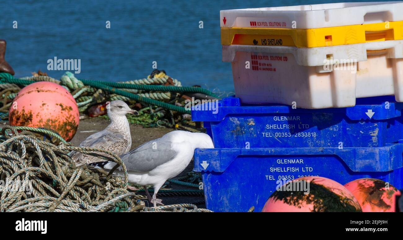 herring-gull-larus-argentatus-in-full-adult-plumage-scavenging-for-food-in-fish-boxes-while-juvenile-gull-watches-2EJPJ9H.jpg