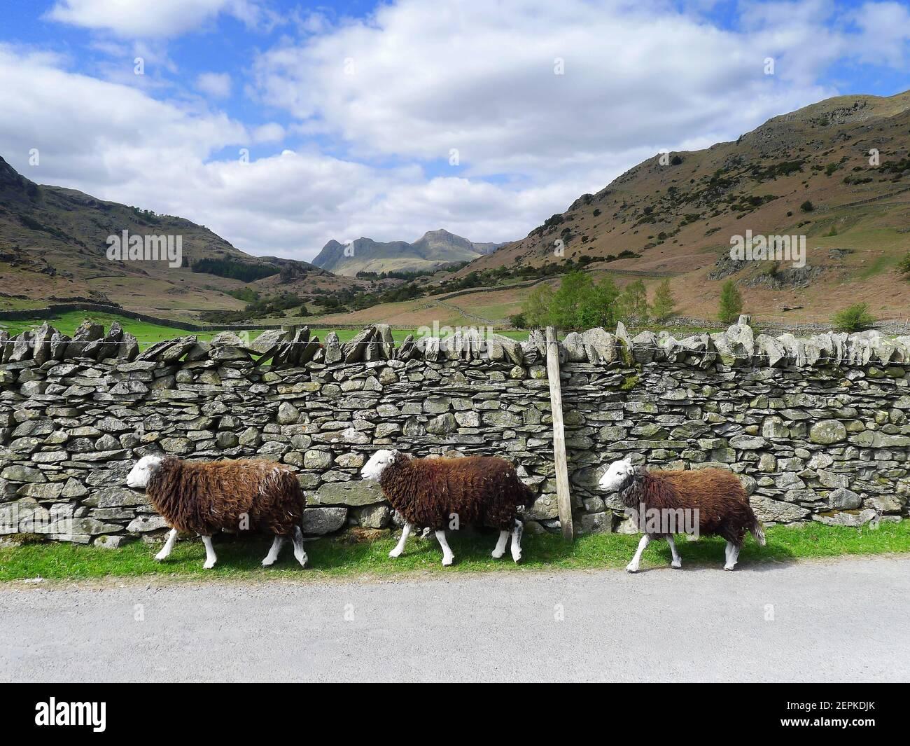 herdwick-sheep-walking-in-single-file-by