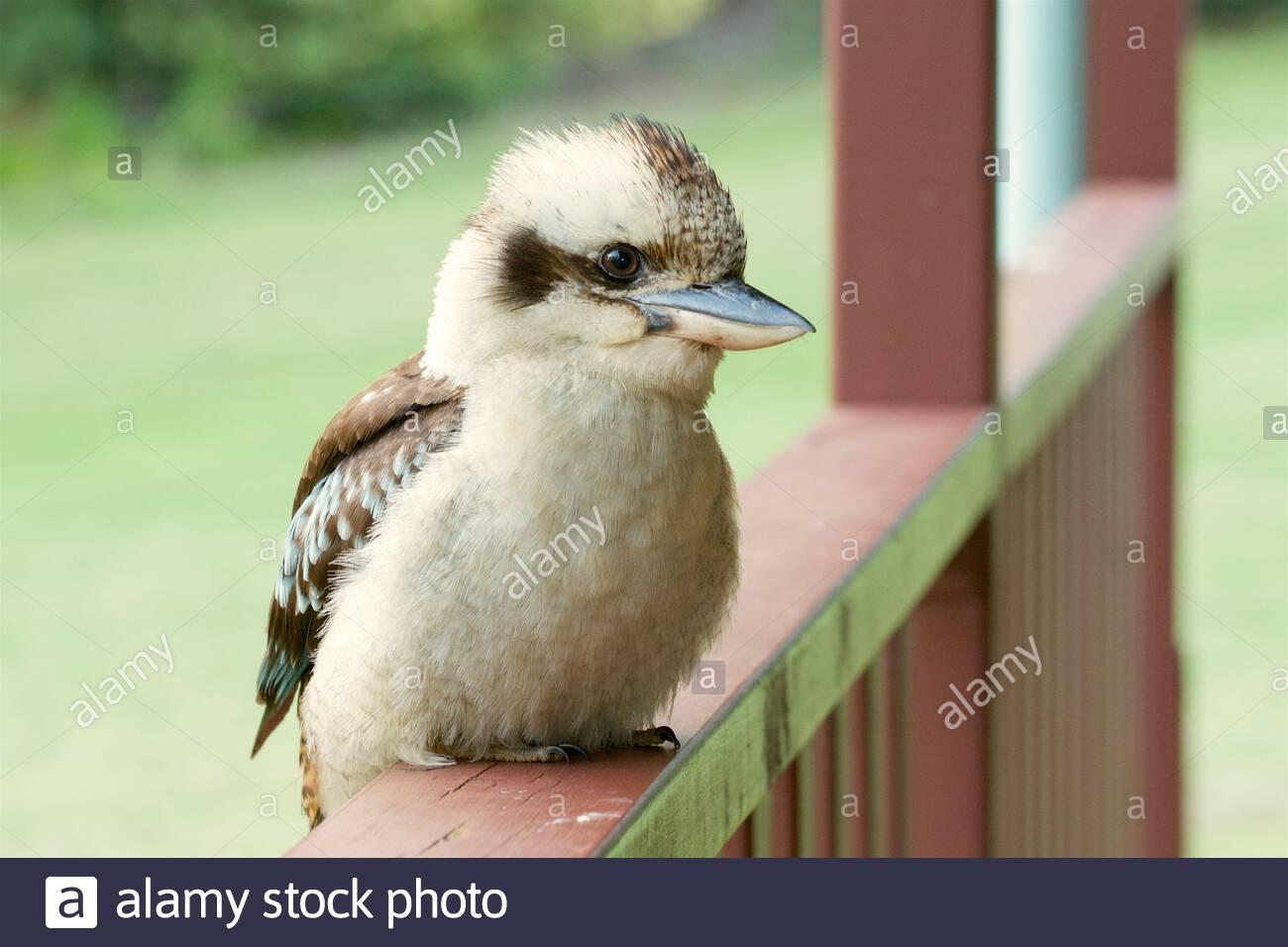 portrait-of-a-laughing-kookaburra-dacelo-novaeguineae-2EXAHD4.jpg