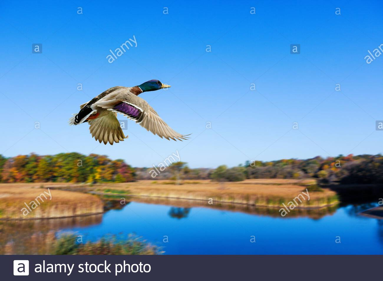 mallard-duck-anas-platyrhynchos-flying-o