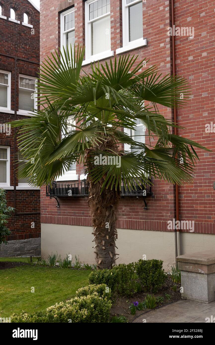 Windmill Palm tree (Trachycarpus fortunei) or Chusan palm growing outside an apartment building in Vancouver, British Columbia, Canada Stock Photo