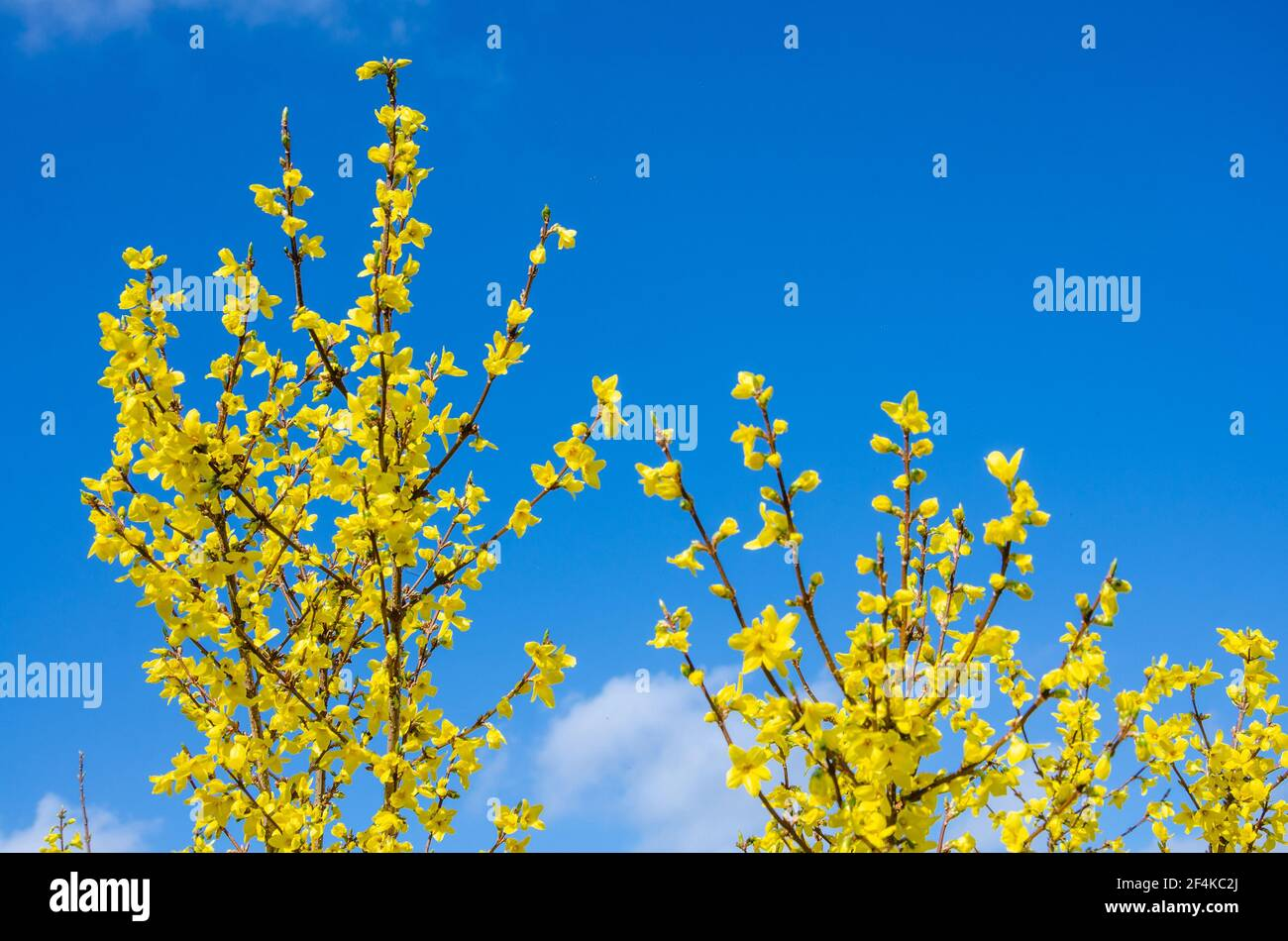 looking-up-at-yellow-forsythia-flowers-against-a-blue-sky-2F4KC2J.jpg